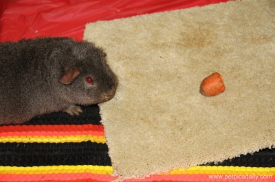 delware_guinea_pigs