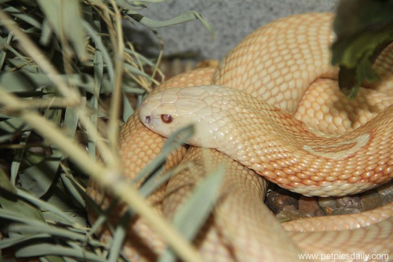 albino_burmese_python_2
