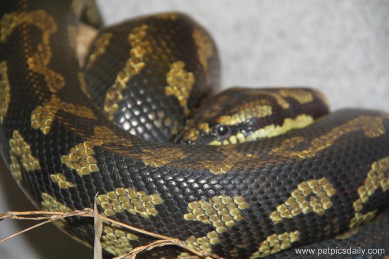 jungle_carpet_python