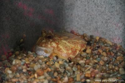 albino_horned_frog