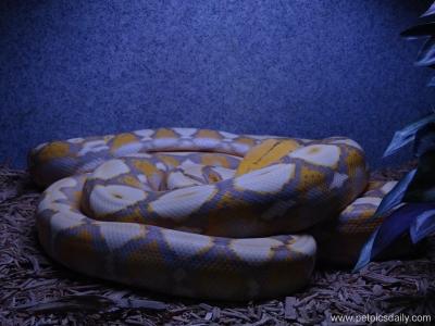 albino_reticulated_python