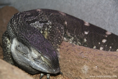 black_throat_monitor_lizard