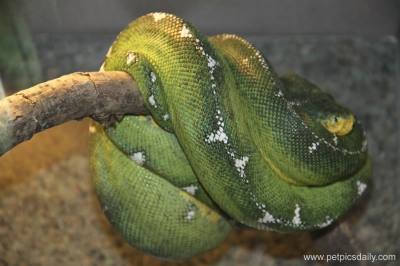 green_tree_python