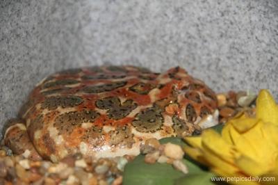 horned_frog