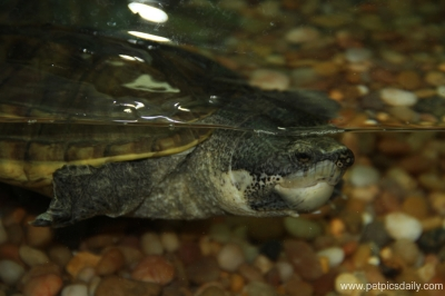 mexican_giant_musk_turtle