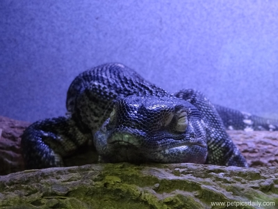 monitor_lizard