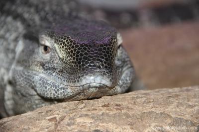 monitor_lizard_2