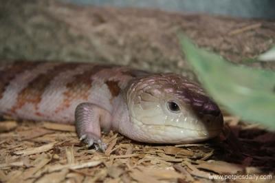 rainforest_lizard