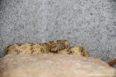 tiger_rattlesnake